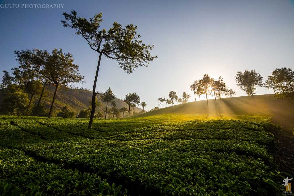 Roam amidst the tea gardens in Munnar