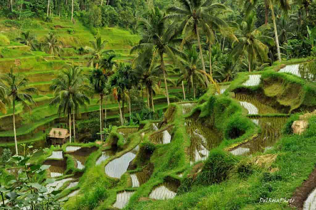 Terraced Rice Paddies bali
