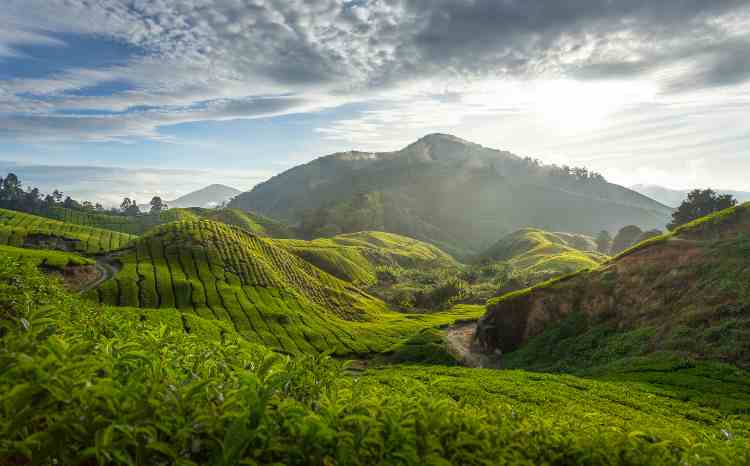 Cameron Highlands malaysia - malasiya best things to do