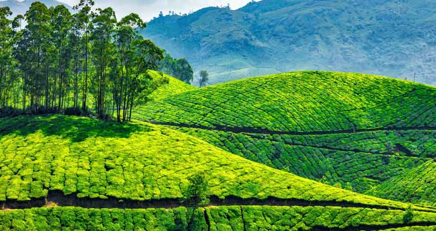 tea-gardens-of-Munnar