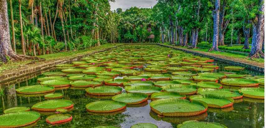 Pamplemousses garden in Mauritius