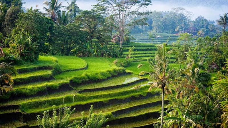 Ubud Rice Paddies bali - Bali is an island paradise for honeymoon couples