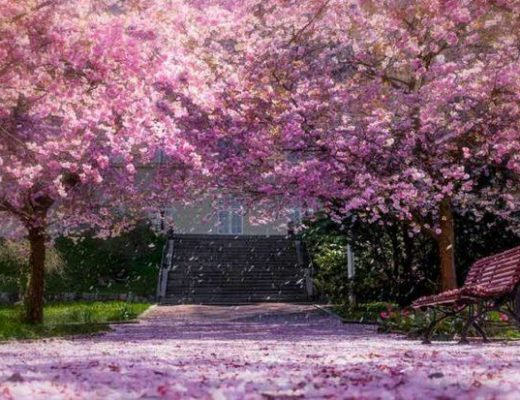 Experience Cherry Blossom Festival in Shillong