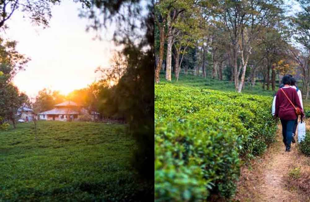 Bundla Tea Estate Palampur