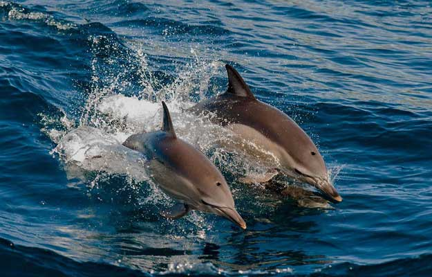 maldives dolphin watching